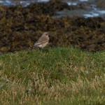 Wheatear Lossie estuary 22 Aug 2013 David Main