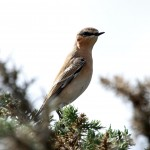 Wheatear Lossie estuary 3 Sep 2013 Gordon Biggs