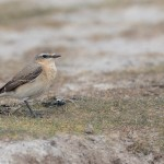 Wheatear Lossie estuary 4 May 2016 David Main 2 P