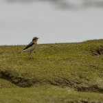 Wheatear Lossie estuary 5 Apr 2014 David Main
