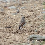 Wheatear Lossie estuary 5 July 2014 Gordon Biggs 2