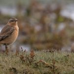 Wheatear Lossie estuary 9 Oct David Main P