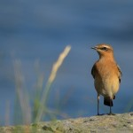 Wheatear Lossiemouth 23 Sept 2013 David Main