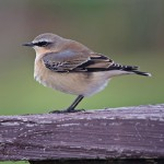 Wheatear Roseisle 8 Sept 2014 Tony Backx 1