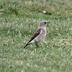 Wheatear juv Lossie estuary 14 July 2013 Gordon Biggs