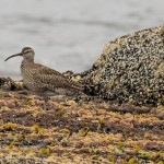 Whimbrel Burghead 15 Jul 2016 David Main P
