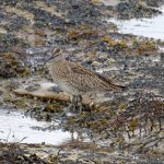 Whimbrel Burghead 23 Apr 2017 Gordon Biggs 2P