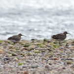 Whimbrel Findhorn 2 Sept 2013 RSCocks