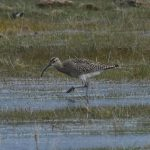 Whimbrel Findhorn Bay 28 Apr 2017 Gordon McMullins 1P