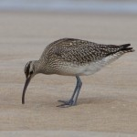 Whimbrel Findhorn beach 27 Aug 2015 Richard Somers Cocks
