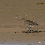 Whimbrel Lossie estuary 23 Aug 2014 David Main