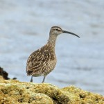Whimbrel Lossiemouth 12 June 2016 Gordon Biggs P