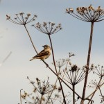 Whinchat Findhorn Bay 28 Aug 2014 Roy Dennis