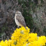 Whinchat Kinloss 21 May 2014 Allan Lawrence