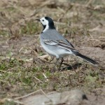 White Wagtail Burghead 30 Apr 2016 Tony Backx 1 P