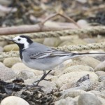 White Wagtail Findhorn 6 May 2013 Richard Somers Cocks