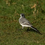 White Wagtail Lossie estuary 10 May 2014 David Main 1