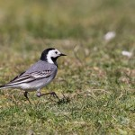 White Wagtail Lossie estuary 3 May 2016 David Main P