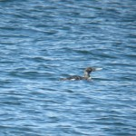 White billed Diver Findhorn 13 Jul 2016 Martin Cook