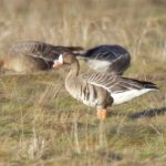 White fronted Goose Findhorn Bay 5 Mar 2017 Richard Somers Cocks
