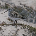 White rumped Sandpiper Findhorn 11 June 2013 Tony Backx