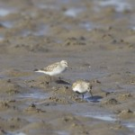 White rumped Sandpiper Findhorn Bay 10 June 2013 Richard Somers Cocks 2