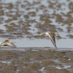 White rumped Sandpiper Findhorn Bay 11 June 2013 Richard Somers Cocks 3