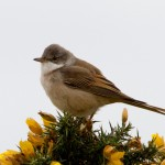 Whitethroat Findhorn 15 May 2014 Richard Somers Cocks