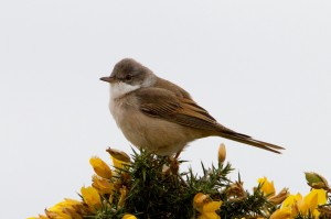 Whitethroat, Findhorn 15 May 2014 (Richard Somers Cocks)