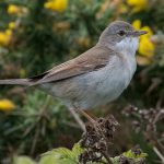 Whitethroat Hopeman 24 May 2017 Mike Crutch P