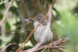 Whitethroat, Kinloss 15 June 2014 (Gordon Biggs)