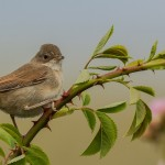 Whitethroat, Lossie estuary 12 Jul 2016 (David Main)