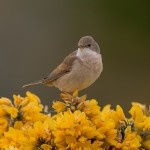 Whitethroat, Lossie estuary 18 May 2015 (David Main)