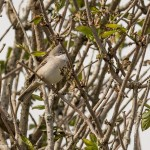 Whitethroat Lossie estuary 3 May 2016 David Main P