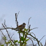 Whitethroat Lossiemouth 21 May 2013 David Main