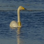 Whooper Swan Cloddach 29 Sept 2013 David Main