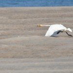 Whooper Swan Findhorn 29 May 2013 Gordon McMullins