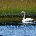 Whooper Swan Loch Kirkaldy 26 Oct 2015 Alison Ritchie