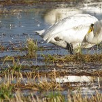 Whooper Swan North Alves 18 Nov 2014 Tony Backx