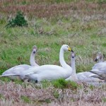 Whooper Swan North Alves 6 Nov 2014 Tony Backx