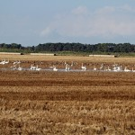 Whooper Swans Bailliesland 10 Oct 2014 Gordon Biggs