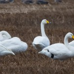Whooper Swans Bailliesland 11 Oct 2014 David Devonport