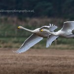 Whooper Swans, Bailliesland 23 Oct 2014 (David Devonport)