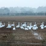 Whooper Swans Bailliesland 9 Oct 2014 Martin Cook
