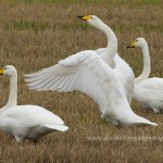 Whooper Swans Barmuckity 2 Nov 2013 David Devonport