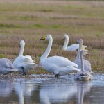 Whooper Swans, Calcots 5 Nov 2014 (David Main)