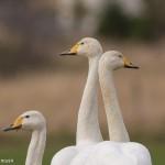 Whooper Swans Crosslots 18 Mar 2016 David Main