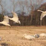 Whooper Swans Darkland Lhanbryde 3 Jan 2013 Dick Hewitt