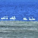 Whooper Swans Findhorn Bay 13 Mar 2017 Gordon McMullins