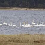 Whooper Swans Findhorn Bay 7 Apr 2015 Richard Somers Cocks
